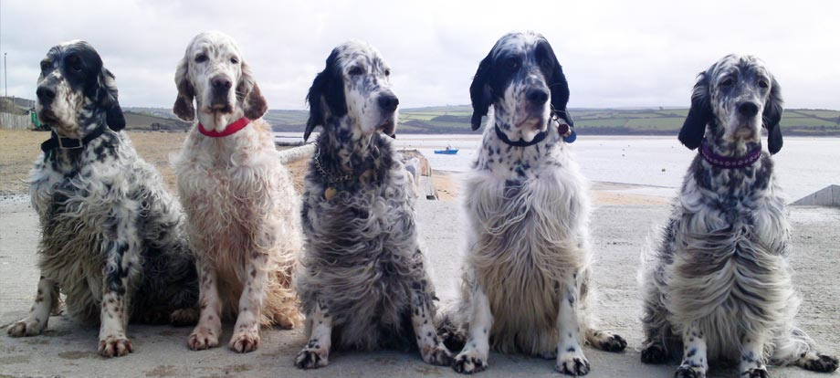 Severnsett English Setters